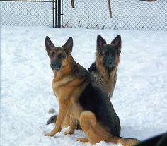 Miles and Willow - #GSDs