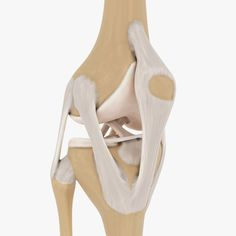 Knee-joint model Model in Medical Equipment Knee Joint Anatomy, Anatomy Bones, 3d Anatomy, Synovial Joint, Ballet Shoes, Dance Shoes, 3d Printing, Medical Equipment, Models