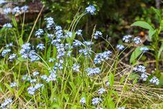 Lapinlemmikki - Enontekiö Kilpisjärvi Käsivarsi Lappi Myosotis decumbens heinäkuu kasvilaji kesä lapinlemmikki lemmikit lemmikki monivuotinen tunturikasvi