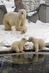 These 3 cute polar bear cubs born in November last year, play on snow at the Moscow Zoo.. :)))