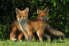 Red-Fox Kits-6914 by Phil Johnson | Flickr - Photo Sharing! | http://www.flickr.com/photos/33093263@N05/5878586986/