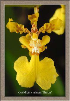 Oncidium citrinum
