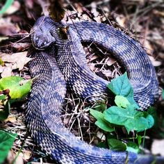 East Texas cottonmouth.....ok so I'm not looking forward to this part!