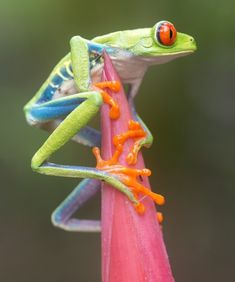 Jumping red-eyed tree frog, Costa Rica by Nicolas Reusens
