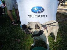A pug dog at the Folger Subaru station.