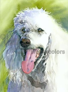 """Poodle, White Standard, French, AKC Non Sporting, Pet Portrait Dog Art Picture Watercolor Painting Print, Wall Art, Home Decor, """"Oliver"""""""