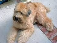 Soft coated wheaton terrier. Is my top pick