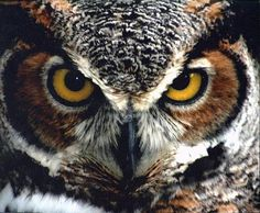 Great Horned Owl aka Tiger Owl (Amerikaanse oehoe) / Bubo Virginiaus / Photograph by Ellen Kimball, Winter Park, Florida, USA.