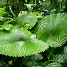 Botanical Garden, Cairns, Australia Plant Species, Tropical Plants, World Heritage Sites, Botanical Gardens, Planting Flowers, Greenery, Plant Leaves, Flora, Beautiful Places