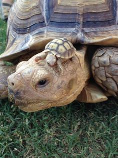 Daddy African Sulcata Tortoise with his new born hatchling, only a couple of hours old!