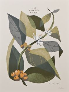 Image of The Coffee Plant (Branch) by Chris Turnham, from Milstead & Co. Coffee in Seattle