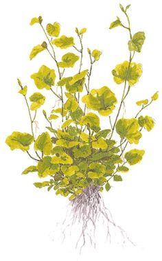 Cardamine lyrata - Tropica Aquarium Plants