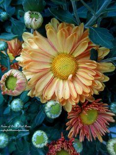 Fall Mums  (Garden of Len & Barb Rosen)