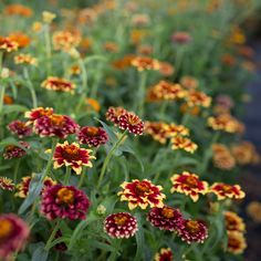 Zinnia 'Aztec Sunset' (Zinnia haageana)  This brilliant, eye-catching mix includes a wide range of miniature bicolor blooms in shades of buttercream, gold, cranberry, rust and merlot. While plants themselves are compact, they churn out an abundant amount of stems for cutting from midsummer to early autumn.  Seed available from Floret.  #growfloret