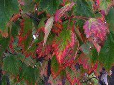 Red-rimmed leaves