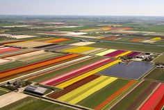 Aerial view of a Tulip farm in Holland.