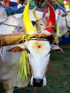 Bull Decorated for Pongal Festival, Mahabalipuram, Tamil Nadu, India Lámina fotográfica por Greg Elms en AllPosters. Festivals Of India, Indian Festivals, Incredible India Posters, Amazing Photos, India Painting, Lion Wallpaper, India Culture, India People, India Art