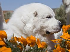 Great Pyrenees Lying in a Field of Wild Poppy Flowers at Antelope Valley in California, USA Photographic Print