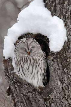 Ural Owl by Dennis Binda | denlArt