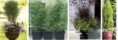 Image result for plants for privacy in pots