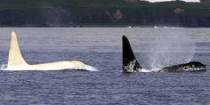 Seltene weiße Orcas erschienen an der Wasseroberfläche #News #Unterhaltung