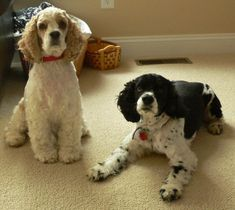 american cocker spaniel haircuts | This Week's Featured Cocker Spaniel Picture