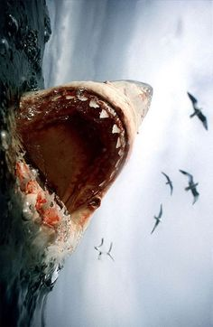 Shark......and this is why I do not go in the ocean! Can you imagine seeing one of these! Hell NO!