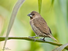 Scaly-Breasted Munia, Philippines