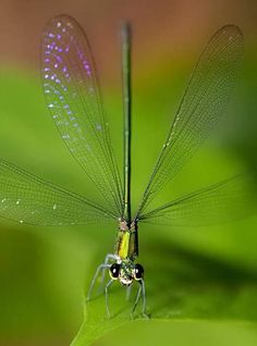 Damselfly with transparent wings Beautiful Bugs, Beautiful Butterflies, Amazing Nature, Beautiful Creatures, Animals Beautiful, Cute Animals, Foto Macro, Dragonfly Art, Dragonfly Photos