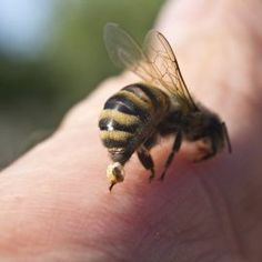Relieve Pain From Stings Bee and wasp stings really hurt! Use Listerine to relieve the pain. It will numb the affected area while you work to get the stinger out. Treating Bee Stings, Bee And Wasp Stings, Remedies For Bee Stings, Why Do Bees Sting, Honey Bee Sting, Piaggio Vespa, Bee Sting Allergy, Keep Bees Away, Tips