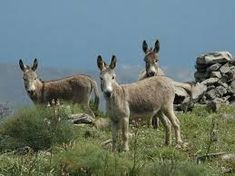little donkeys from Sardinia (Italy) Sardinia Italy, Flora And Fauna, Farm Animals, Pet Birds, Kangaroo, Goats, Cool Pictures, Donkeys, Island