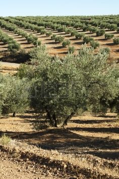 Olive trees in a row...