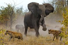 This is the incredible moment a protective mother came to the rescue of her vulnerable calf as it was preyed upon by a pack of hyenas. The angry elephant charged at the hungry animals - and was successful.