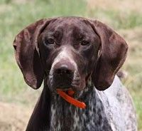 Pointblank Dogs - German Shorthaired Pointer and Vizsla Breeders, and where we got our GSP from! leannef_84    Clcik to take a survey with and recieve a free $100 giftcard to starbucks!