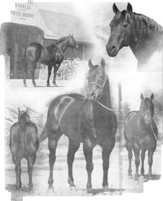 Poco Bueno Foaled April 10, 1944. He was purchased by E. Paul Waggoner in 1945 for $5.700 and he stood 14.3 hands and weighed 1,150 pounds. His show career started when he was named champion yearling stallion at the Texas Cowboy Reunion Quarter Horse Show in Stamford.