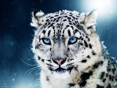 pics of white tigers with blue eyes | Download texture: white tiger with blue eyes, photo, wallpapers ...