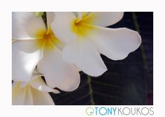 green, Thailand, islands, foliage, white flower, yellow, nature, travel, art, photography, Tony Koukos