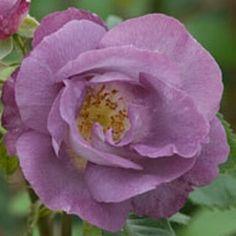 Blue for You - David Austin Roses