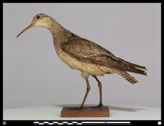 Extinct Eskimo Curlew | Eskimo Curlew (possibly extinct), has not been seen in over 30 years.  Millions of birds were killed every year in the 1800s.  Lived in the tundra of the Western Arctic Canada and Alaska.