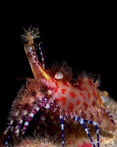 Location: Anilao, the Philippines, Marble shrimp