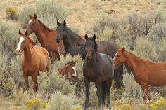 Piceance Creek wild horses M5962