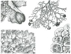 Structural Drawings of Lichen