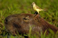Capybara and Songbird, The Pantanal, Brazil, photo by Joe and Mary Ann McDonald