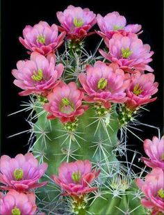 Cactus flowers - by Cris Figueired♥