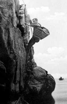 Old photograph of gathering eggs on the cliffs of the May Island in the Firth of Forth five miles from coast of Crail in the East Neuk of Fife, Scotland