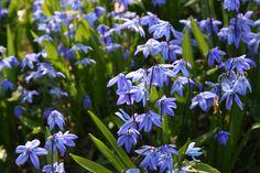 Sinililja Flower Beds, Drawing, Beautiful, Spring, Garden, Flowers, Plants, Party, Garten