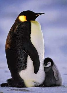 Penguin Parent