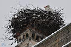 Castelo Branco - Elas voltaram... (storks came back...)