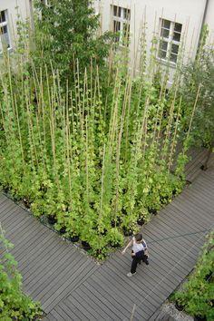 /\ /\ . Creeping hop planted in the Kunst Werke Garden, Berlin