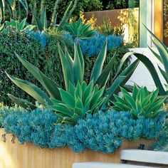 A. americana In this great combination A. americana accents a planting of blue Senecio mandraliscae that tumbles over a wall, as aloes and rosemary 'Severn Sea' grow behind.